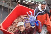 A royal crab? Rare blue-coloured crab found in Alaska has become a rock star with people showing up to get photos clicked with it!