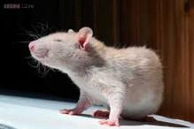 Rats blamed for rail accident in France