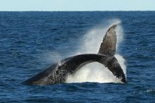 Whales are engineers of ocean ecosystems