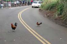 Why did the chicken cross the road? Portland cops look for answers after a chicken caused a traffic hazard