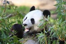 A smart, lying panda may have faked pregnancy for extra buns and an AC accommodation!