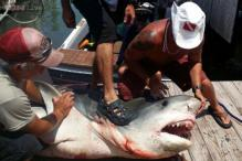 Texas fisherman catches a 12-foot long, 809-pound heavy tiger shark in Gulf of Mexico after reeling for more than seven hours!