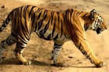 Two tigresses die in MP's wildlife reserves in separate incidents