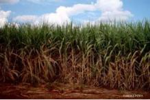 Act to protect cane growers comes into effect in Karnataka