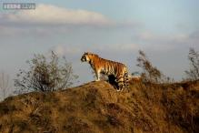 Exclusive: If the Tiger Can Survive, It's in India