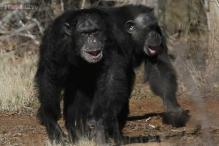 Chimpanzees are entitled to 'legal personhood': NY court hears arguments that chimps have rights