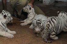 Seven tiger cubs spotted in Satpura tiger reserve