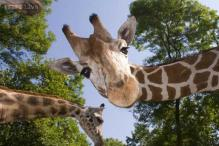 Who packed giraffes on a military plane for delivery to Qatar? Interpol releases a wildlife trafficking Most Wanted list