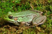 No croaking! This new frog species groans and coughs