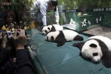 The world's only surviving panda triplets are healthy at 100 days - each weighs 11 pounds, has 2 teeth
