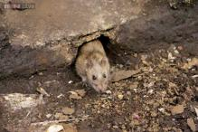 A mere 2 million rats make New York City home, statistician says