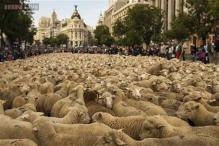 Spanish shepherds guided a flock of 2000 sheep across Madrid in defense of ancient grazing, migration rights threatened by urban agricultural practices