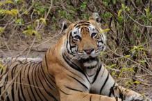 Deadly virus pushing tigers towards extinction