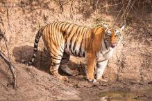 Karnataka forests bound to have more tiger trobule next year