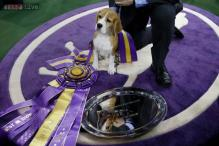 Beagle named Miss P wins 139th Westminster dog show