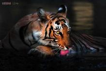 Rise in Tiger number & Special Tiger Protection Force woes