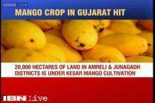 Rain ruins mango crops, farmers fear reduced output