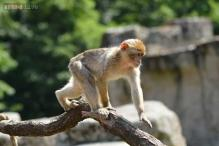 Railway hires langurs to provide security at stations in Agra