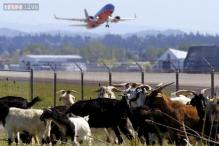 Goats, llama and shepherdess help clear plants at Oregon airport