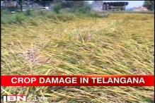 Telangana: Farmers in distress as unseasonal rainfall damages paddy fields, mango orchards
