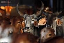 Andhra Pradesh: 21 cows die of food poisoning at 'gowshala' in Vijayawada
