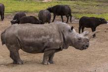 Rare white rhino undergoes veterinary treatment in California