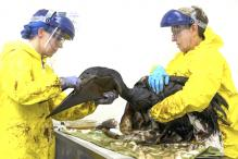 Oil-coated pelicans scrubbed clean at California rehab center