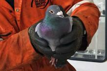 Lost racing pigeon Pedro gets helicopter ride home from oil rig