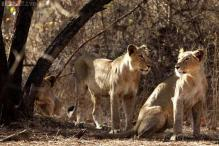 Gujarat opposes any move to shift Gir lions out of state after flood kills some