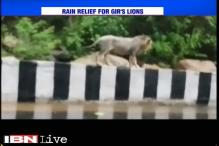 Watch: Rain forces lion to come out of his green cover