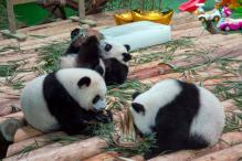 Rare Panda triplets celebrate first birthday in China