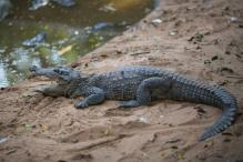 Beach crocodile gives Goa Tourism a scare