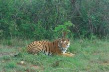Injured Tiger Rescued, Shifted to Sanjay Tiger Reserve in MP
