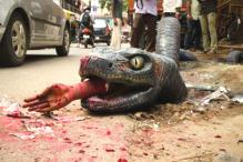 This anaconda on the streets of Bengaluru means no harm!