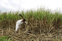 As India's sugarcane crop wilts, risks grow for the global sugar market