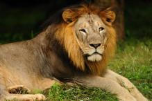 Modi's lions to enthrall animal lovers in London's zoo