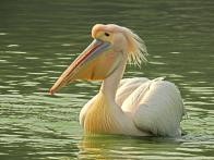 Looking for Pelicans in the heart of Delhi