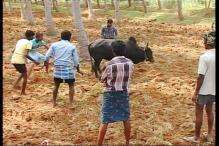 SC to hear pleas against government notification lifting ban on jallikattu