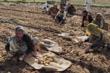 Potatoes in Cold Storage Have Started Rotting After Note Ban: FCSAI