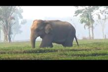 Indian Elephant that Got Swept Away to Bangladesh Dies