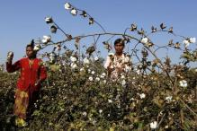 GM cotton row esclates, India 'not scared' if Monsanto leaves