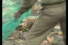West Bengal: Leopard rescued from a tree in Jalpaiguri