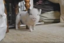 This baby pig dancing to Rihanna's 'Work' is just the cutest thing ever