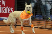 Watch: Shelter dogs used to retrieve tennis balls at Brazil Open