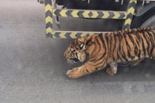 Watch: A tiger prowling around the traffic-infested streets of Qatar is just so bizarre