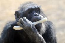 Chimp Flees Japan Zoo, Caught After Falling From Power Pole