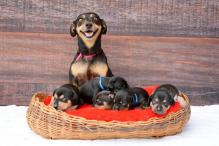 Cuteness overload! Pregnant Dachshund gets maternity shoot done and gives birth to 5 puppies soon after