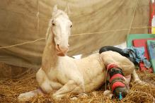 Injured During BJP Protest, Uttarakhand Police Horse Shaktiman Dies