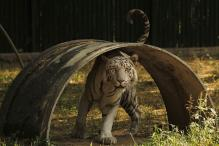 White tigers set to roar again in Vindhya region from April 3