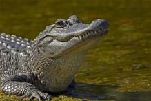 Alligator Bites Off The Arm of a Florida Man Fleeing Police